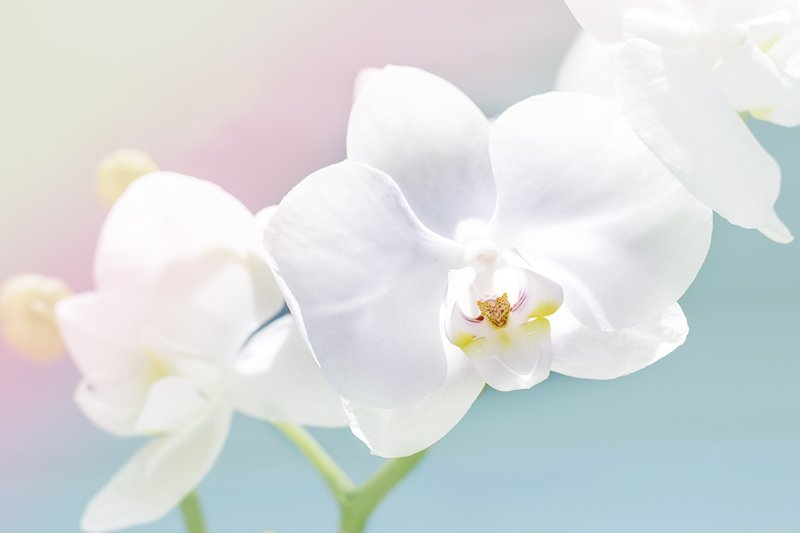 delicate white orchid, orchid flowers branch